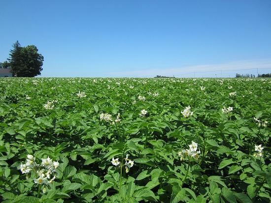 ジャガイモ畑、白い花 北見市常呂町
