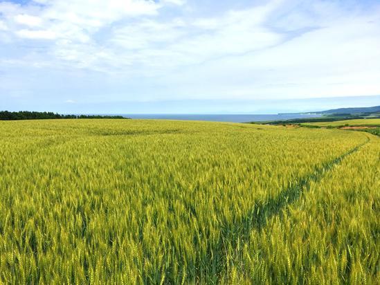オホーツク海と能取湖が望める麦畑 北見市常呂町