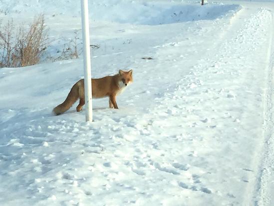 キタキツネ 雪原に残る野生動物の足跡 北見市常呂町